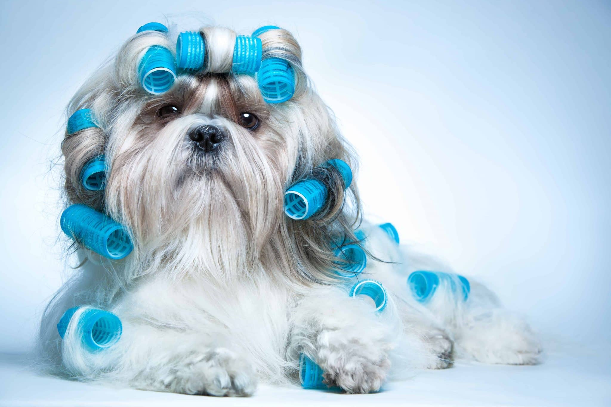 A shih tzu dog with curlers. Could you make money as an animal groomer?