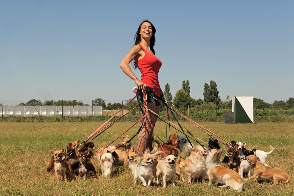 a female dog walker strikes a pose with lots of small dogs on leads